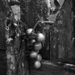 """Age Ole Southern Tomatoes BW"" by NaturePlusStudios"