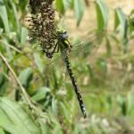"""""""Emperor Dragonfly"""" by tgm86"""