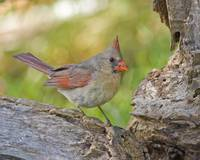 IKB01 - Female Northern Cardinal
