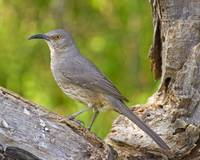 BI024 - Curve-billed Thrasher