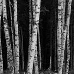 """""""Birch"""" by codepoet"""