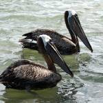 """07-0618-02 Two Brown Pelicans-IK-8x10"" by LindaWolff"