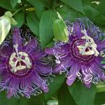 """Sisters Passiflora ""Incense"""" by LindaWolff"