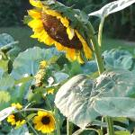 """Sunflower Row-02-8x10-IK"" by LindaWolff"