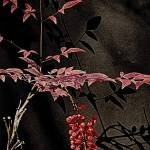 """Nandina with Berries"" by HWP"