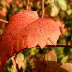 """red leaf 2"" by LoraxLady"