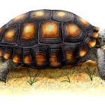 """""""Desert Tortoise"""" by inkart"""