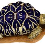 """Indian Star Tortoise"" by inkart"