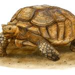 """African Spurred Tortoise"" by inkart"