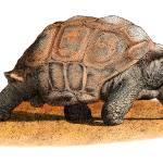 """""""Aldabra Tortoise"""" by inkart"""