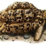 """""""Leopard Tortoise"""" by inkart"""