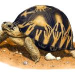 """Radiated Tortoise"" by inkart"