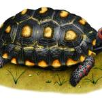 """Red-Footed Tortoise"" by inkart"