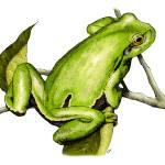 """European Tree Frog"" by inkart"