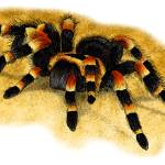 """Mexican Red-Kneed Tarantula"" by inkart"