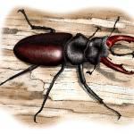 """European Stag Beetle"" by inkart"