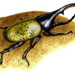 """""""Hercules Beetle"""" by inkart"""