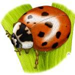 """""""Ladybug Beetle"""" by inkart"""