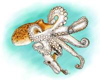 Atlantic Octopus