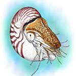 """""""Chambered Nautilus"""" by inkart"""