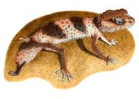 Banded Knob-Tailed Gecko