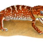 """Rough Knob-Tailed Gecko"" by inkart"