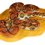 """Brazilian Rainbow Boa"" by inkart"