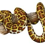 """Burmese Python"" by inkart"