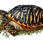 """Ornate Box Turtle"" by inkart"