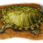 """Red-Eared Slider"" by inkart"