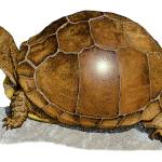 """Three-Toed Box Turtle"" by inkart"