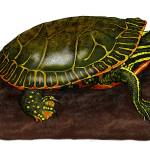 """Western Painted Turtle"" by inkart"