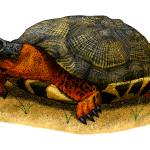 """Wood Turtle"" by inkart"