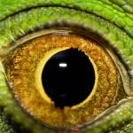 """""""Iguana"""