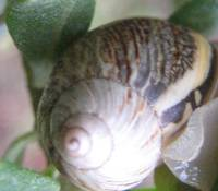 Caracol chileno Orden Stylomatophora, Caracoles Pu