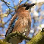"""""""Jay on the branch"""" by tobinejumi"""