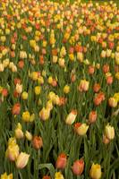 Field of peach tulips