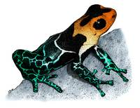 Red-Headed Poison Dart Frog