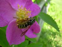 Wild Rose - Busy Bee