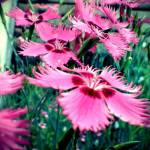 """Dianthus"" by MichaelChrimesPhotography"