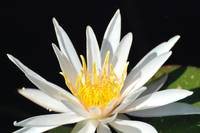 waterlily in white