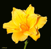 A Yellow Lilly