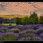 """Lavender Garden"" by PhotosByKMT"