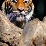 """Tiger"" by cindlin"