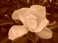 Magnolia in Sepia