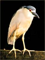 Night Heron Effect