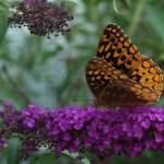 """Close up Butterfly"" by lindseychase"