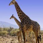 """DSC_0089- Giraffe"" by photocell"