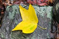 Yellow Poplar Leaf on rain soaked rock