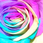 """rainbow rose"" by als"